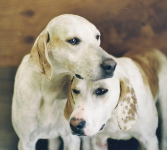 ... Tell the Difference Between a Treeing Walker Coonhound and a Foxhound American Foxhound Strains